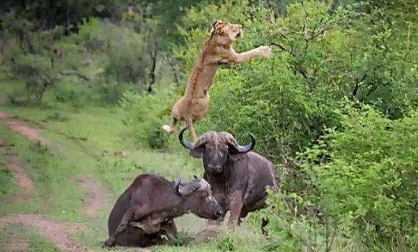 lion-2-